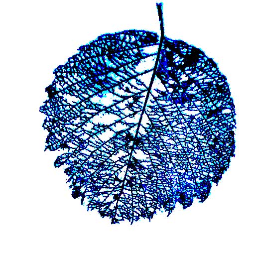 Graphic juneberry leaf for art and life